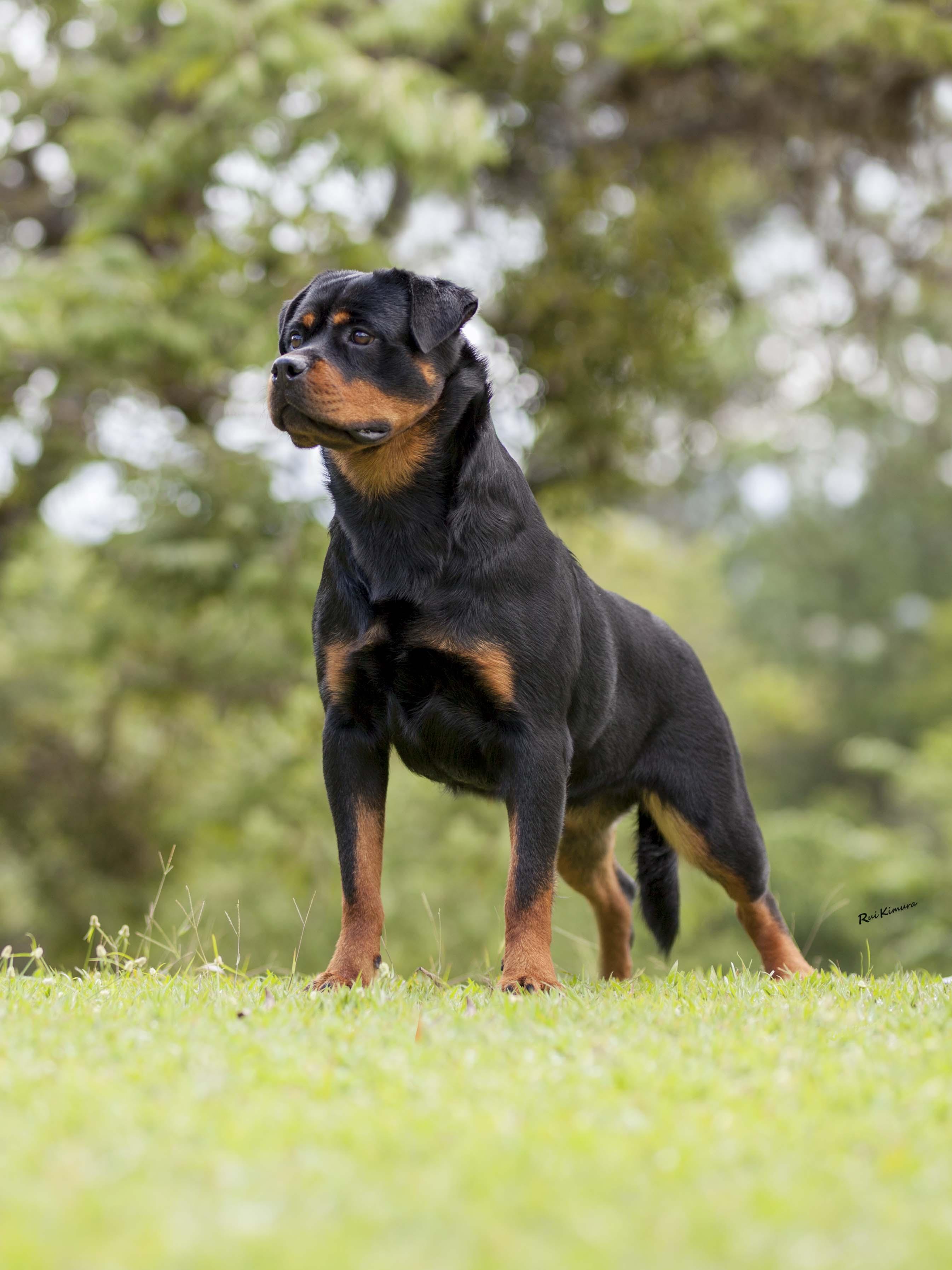 Nossos Rottweilers Ira Kamikaze Rott - Ira