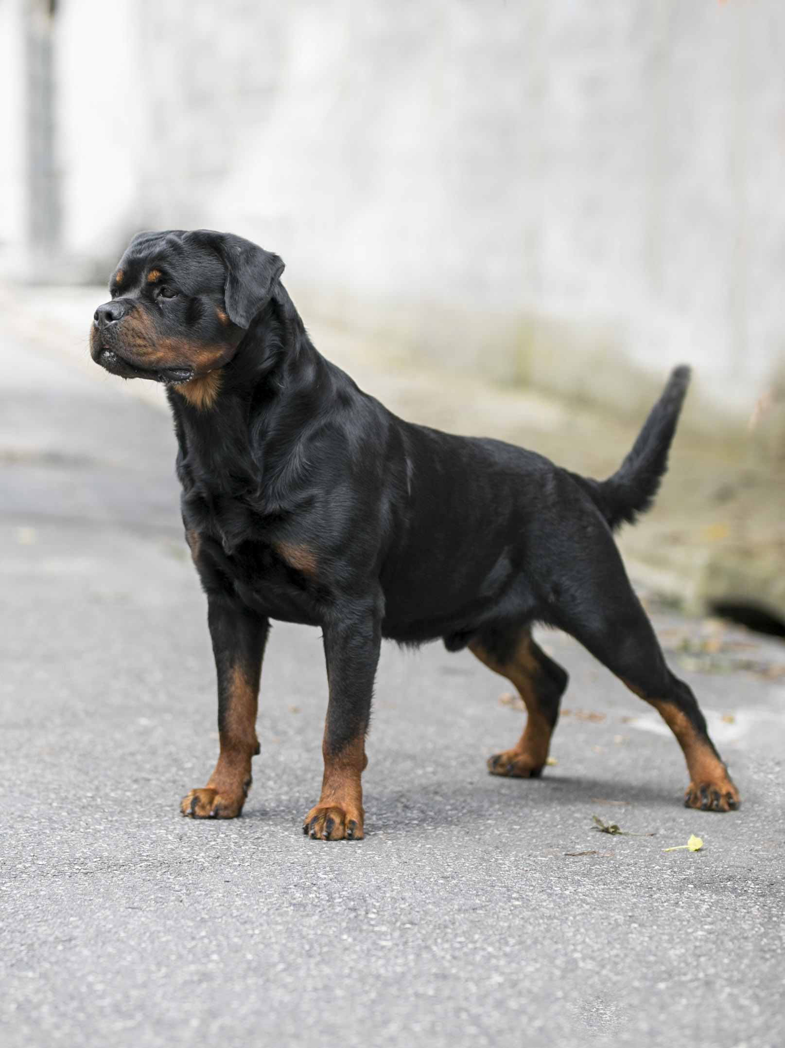 Nossos Rottweilers Block from Royal Breed - Bocó