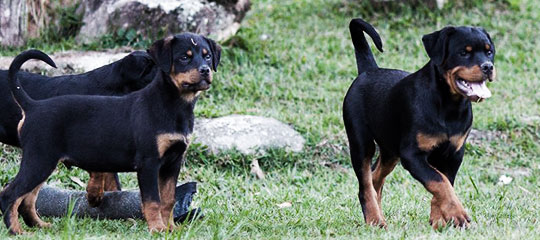 Ninhadas de Rottweilers Selecionados